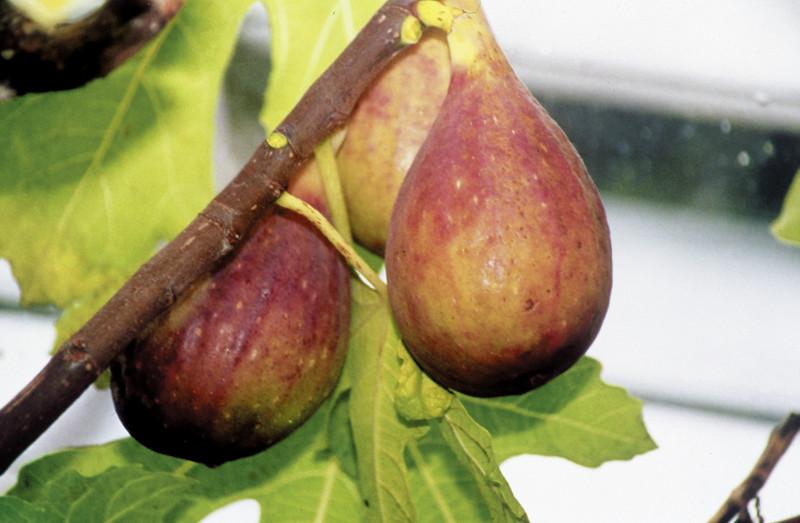 Prezimna figa